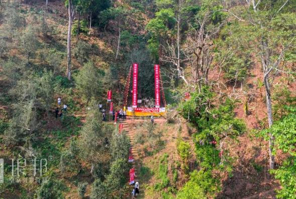 202万的守护!琅邦茶业古茶树保护仪式顺利举行!